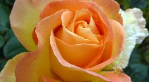 2012_0622 rose for rosie  wordpress
